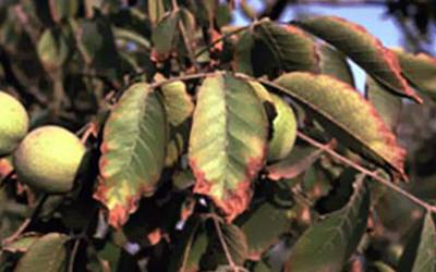 Τοξικότητα χλωριούχων σε φύλλα και καλλιέργειες-Συμπτώματα και αντιμετώπιση