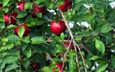 Προβλήματα στην καλλιέργεια της μηλιάς