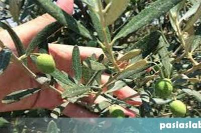 Λίπανση ελιάς και φυλλοδιαγνωστική εξέταση